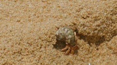 Hermit crab in the sand — Stock Video