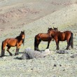 Hree horses in Altai mountains — Stock Photo #77318496