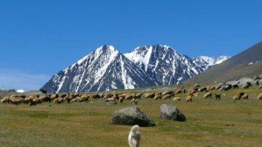 Kudde schapen en hond op de berg weide — Stockvideo