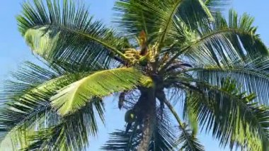 Coconut palm against  sky — Stock Video