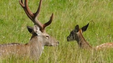 Male and female deers in the grass — Stock Video