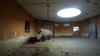 Rhinoceros at a Zoo — ストックビデオ