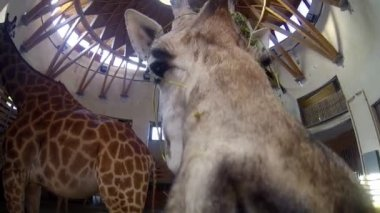 Giraffes at a Zoo — Stock Video