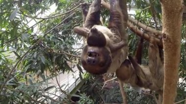 Cute brown-throated sloth crawling on a tree — Stock Video