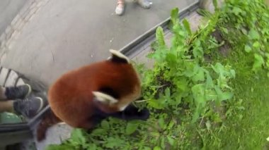 Red Panda at a Zoo — Stock Video