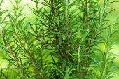 Arbusto de alecrim — Foto Stock