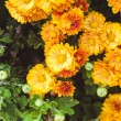 Orange chrysanthemum — Stock Photo #56239333