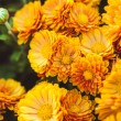 Orange chrysanthemum — Stock Photo #56239345