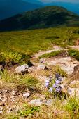 Campanula alpina — Stock Photo