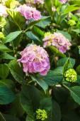 Hydrangea bush — Stock Photo