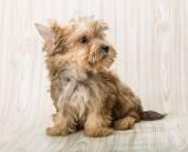 Orkshire terrier posing — Stock Photo