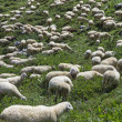 A herd of sheep on a mountain pasture. — Stock Photo #61341815