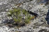 Tiny relict Crimean pine. — Stock Photo