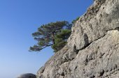 Relict pine on a rock. Crimea. — Stock Photo