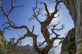 Dried relict pine on the seashore. Crimea. — Stock Photo