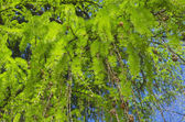 Young needles on the branches of European larch — Stock Photo