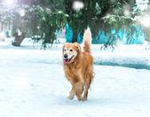Золотистый ретривер в зимнем парке — Стоковое фото