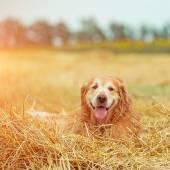 Golden retriever dans la paille — Photo
