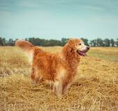 Golden Retriever in the straw — Foto de Stock