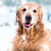 Purebred golden retriever dog — Stock Photo