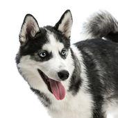 Siberian husky — Stock Photo