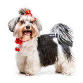 Young  Yorkshire Terrier — Stock Photo