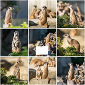 Family of meerkats  on a warm autumn evening — Stock Photo