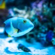 Colorful fish in aquarium — Stock Photo #69747259