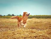 Golden Retriever in the straw — Стоковое фото