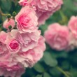 Pink roses in the garden — Stock Photo #76041931
