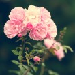 Pink roses in the garden — Stock Photo #76041951