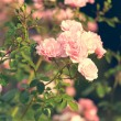 Pink roses in the garden — Stock Photo #76042059