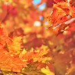 Maple leaves autumn background — Stock Photo #53175313
