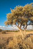 Olive tree on drought meadow — Stock Photo