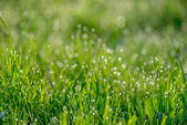Morning dew on green grass — Stock Photo