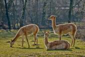 Three lamas on pasture — Stock Photo