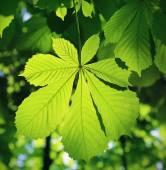 Kestane yaprak — Stok fotoğraf