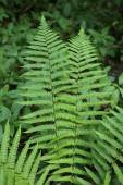 Branch of green fern — Stock Photo