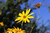 Jerusalem artichoke flowers — Stock Photo