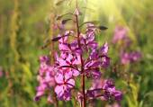 Wild flower of Willow-herb in the sunlight — Stock Photo