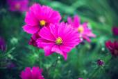Nature background with pink Cosmos flowers — Stock Photo