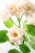 Branch delicate roses — Stock Photo