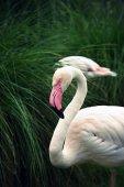 Greater Flamingo (Phoenicopterus roseus) — Stock Photo