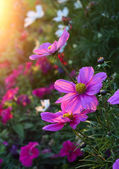 Beautiful Cosmos flowers with sunlight — Stock Photo