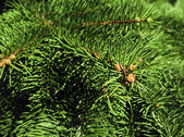 Closeup of pine branch — Stock Photo