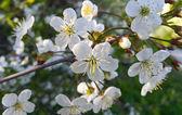 Branch of a spring flowering tree — Stock fotografie