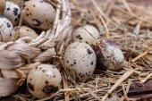 ウズラの卵 — ストック写真