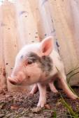 Muddy piglet — Stock Photo