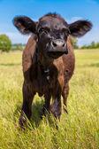 Calf on grass — Stockfoto