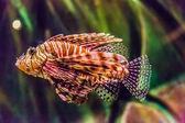 Venomous Red lionfish — Stock Photo